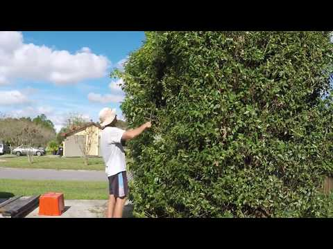 Timelapse trimming a large bush the old fashioned way