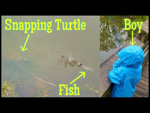 BIG Snapping Turtle vs Fish vs Little Boy - Small Pond Fishing Battle! Who will win?