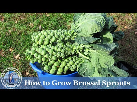 HD How to Grow Brussels Sprouts