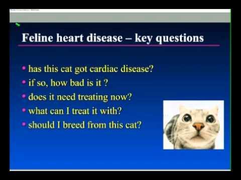 Feline Heart Disease - Key Questions