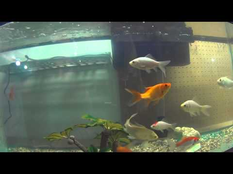 Goldfish and Koi in their winter pond a 55 gallon tank inside the house
