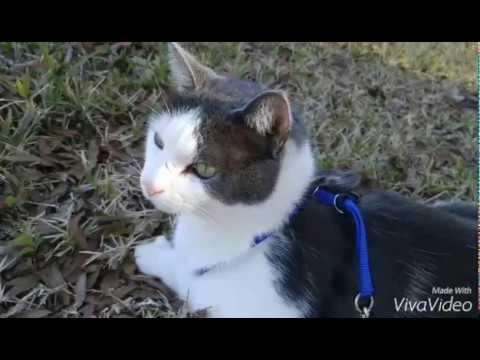 Walking kitty outside - Petsafe leash