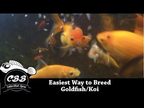 Easiest Method to Breed Goldfish/Koi - No Brine Shrimp - No Eggs Yolks - Simple