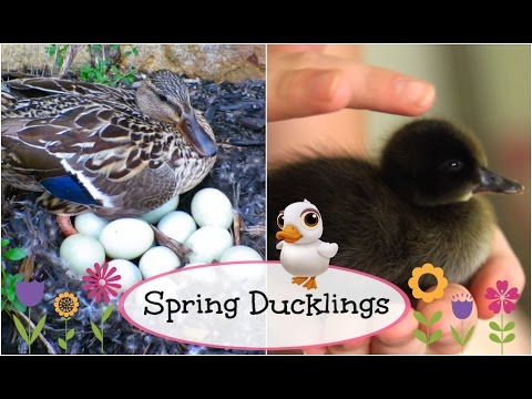 Baby Ducks Hatch LIVE | Brooklyn and Bailey