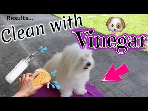Dog Clean Routine, WHITE DOG, VINEGAR, Coton de tulear I Lorentix