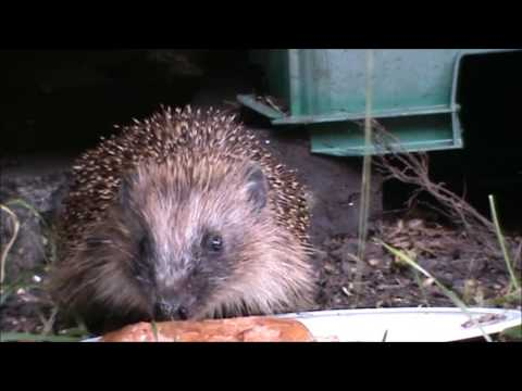 HEDGEHOG COMES OUT AFTER HIBERNATION
