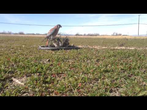 Kestrel Trapping Falconry Bal-Chatri Trap