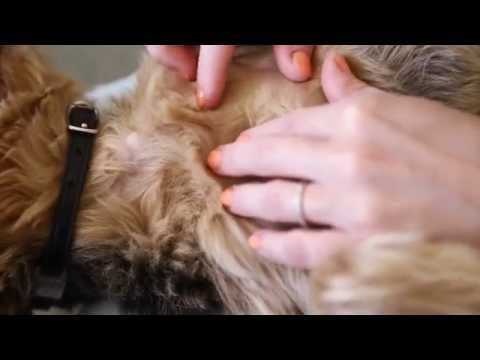 Banfield Pet Hospital - How to Check for Fleas on your Dog or Cat
