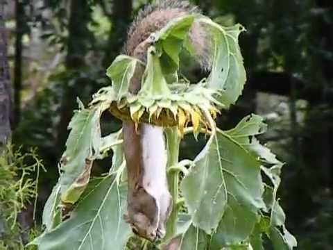 Squirrel hanging upside down eating sunflower seeds