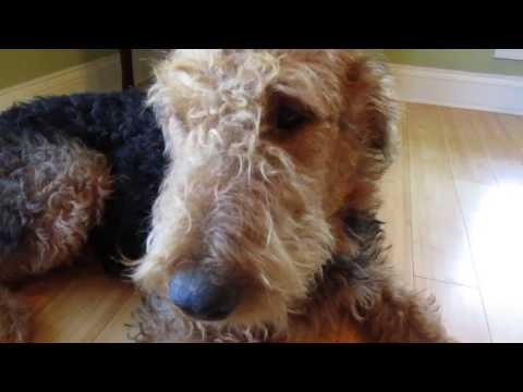 Airedale Terrier Puppies for Sale Video - S & S Family Airedales - Older Airedale Boy Puppy -1