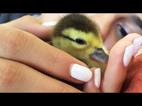 Watch This Duckling Grow Up In 73 Seconds