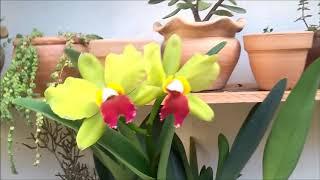 Lysoform Nas Orquideas - O Melhor Fungicida/bactericida Que Já Usei