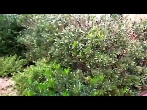 GrowinGreen - How To Prune Overgrown Shrubs