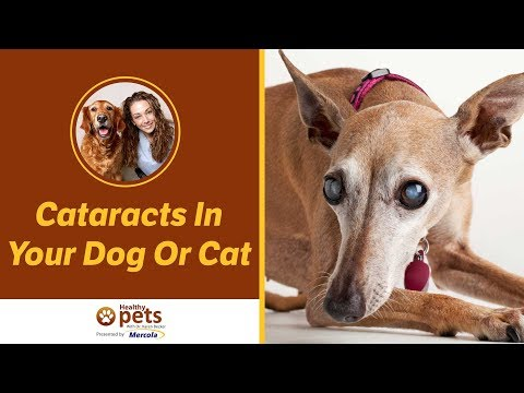 Cataracts In Your Dog Or Cat