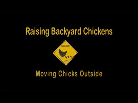 Raising Backyard Chickens - Moving Chicks Outside