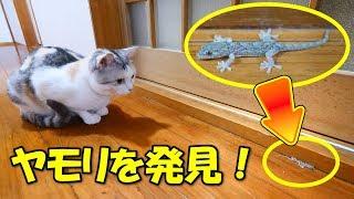 Download 廊下でヤモリを発見した三毛猫姉さん Video