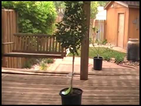 Meyer Lemon and Thornless lime trees