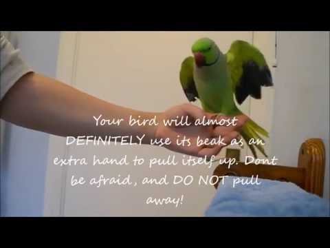 How To Tame a parrot - How To Teach An Untamed Indian Ringneck Parrot To Step Up