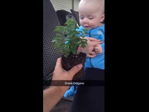 Baby boy smelling Greek oregano