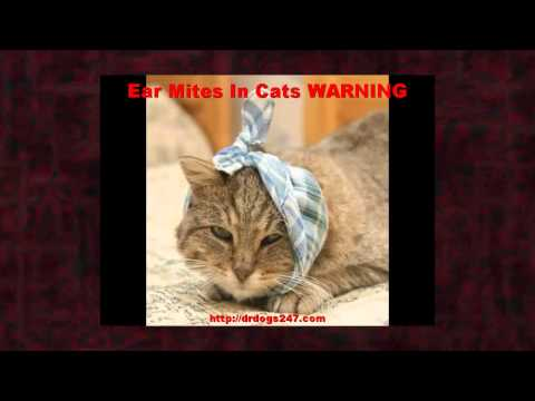 Ear Mites In Cats WARNING on Treatment For Cat Ear Mites