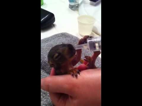 Baby squirrel drinking water