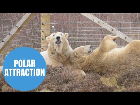Polar Bears hit it off in Scottish wildlife park