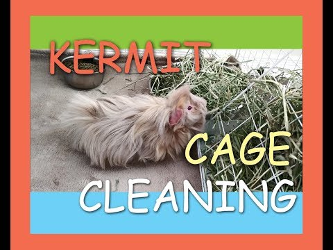 Kermit the Guinea Pig Cage Cleaning Day