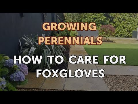 How to Care for Foxgloves