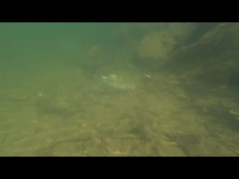 Bass Fishing On Beds Underwater Footage