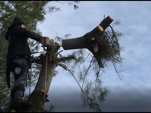 Tree Removal - Fir tree removed in two hours, includes stump grinding