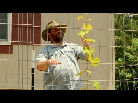 Grape Arbor Trellis Update