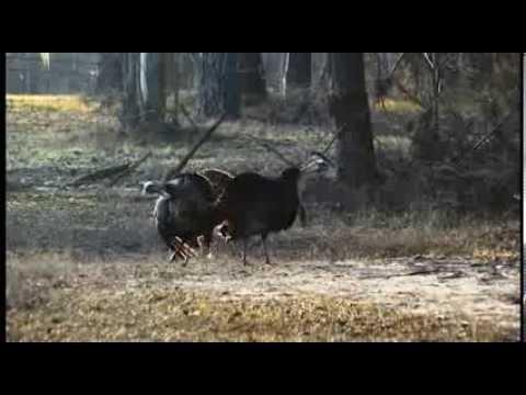 Promo Video - Pecker Wrecker Turkey Calls