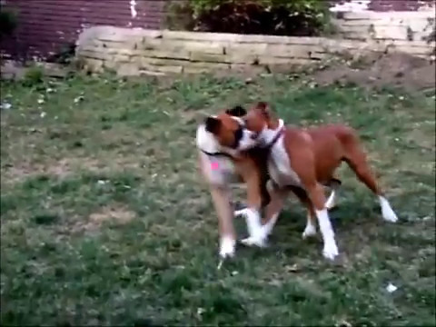 Boxer dog's fighting and biting