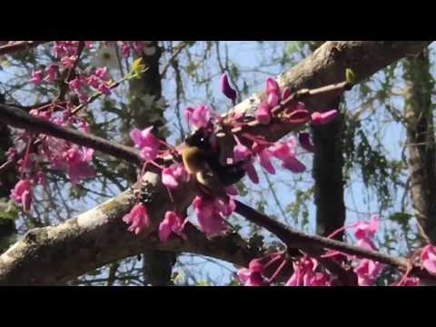Carpenter Bees and Red Bud Trees with Briana