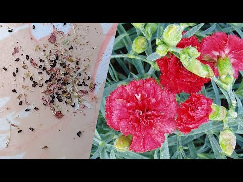 How to Collect Carnations Seeds