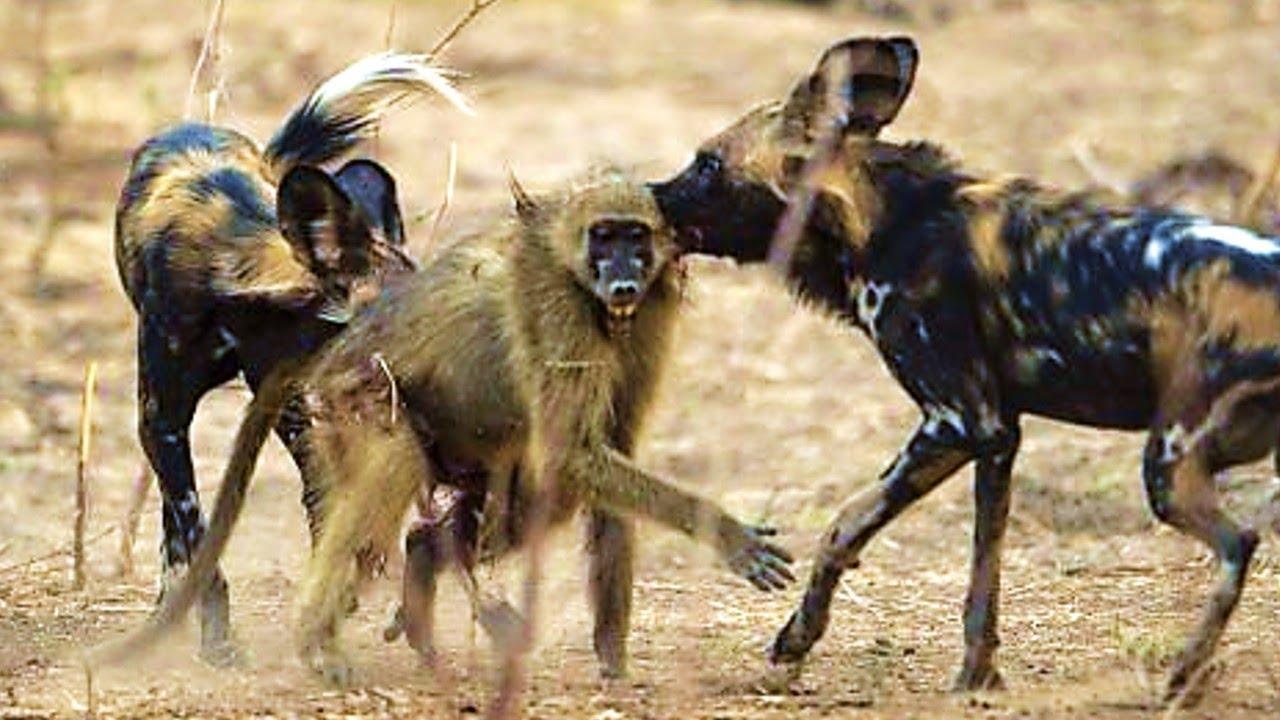 ГИЕНОВИДНАЯ СОБАКА — её боятся даже леопарды и буйволы! Собака в деле, против льва, гиены и антилоп!