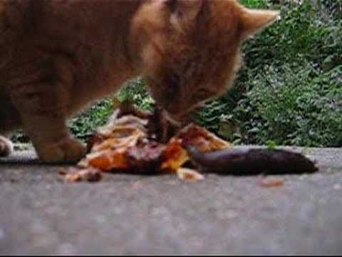 cat and snail love chicken