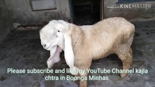 Kajla Sheep Videos - 9videos tv