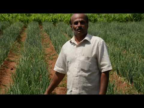 Production of ARKA Kalyan Onion - IIHR
