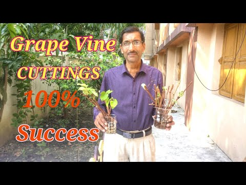 Grow Grape Vine  from Cuttings. It is So Easy !