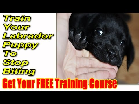 *** How To Train a Labrador Puppy To Stop Biting ► START NOW ◄ Stop Lab Puppy Biting ♫♫♫