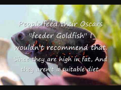 Fish Profiles - Oscar Cichlid