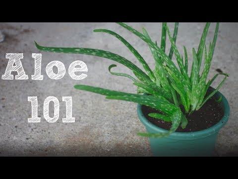 How to repot an Aloe Vera plant - Aloe 101