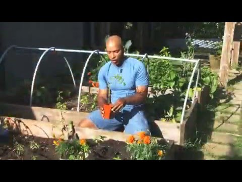 Organic Tomato Growing Tips from Gardener William Moss