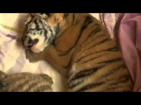 Cute tiger cubs catch up on sleep