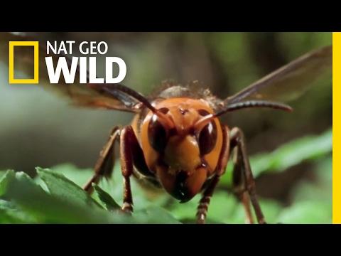 Xxx Mp4 The World 39 S Biggest Wasp Bite Sting Kill 3gp Sex