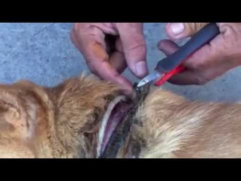 Removing an Embedded Collar from a Street Dog