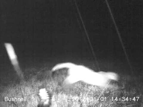 Mountain Lion and Skunk Feb 27