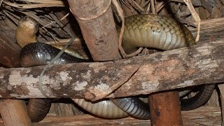 King Cobra Rescue Operation - Nijagoru, Thirthahalli, Shimoga District, KA.