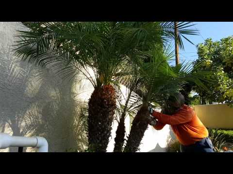 Gardening Tips, How To Clean Palm Trees